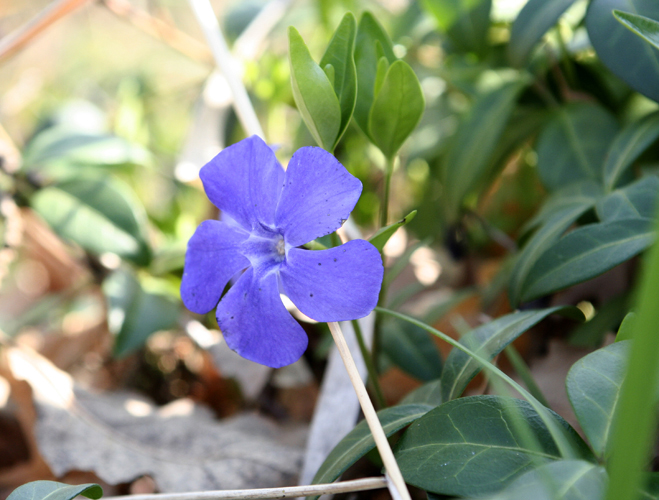 Pervinca, Vinca minor
