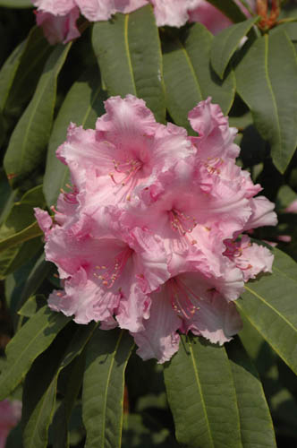 Rhododendron 'Pink Pearl'