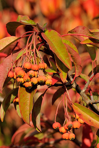 Photinia davidiana