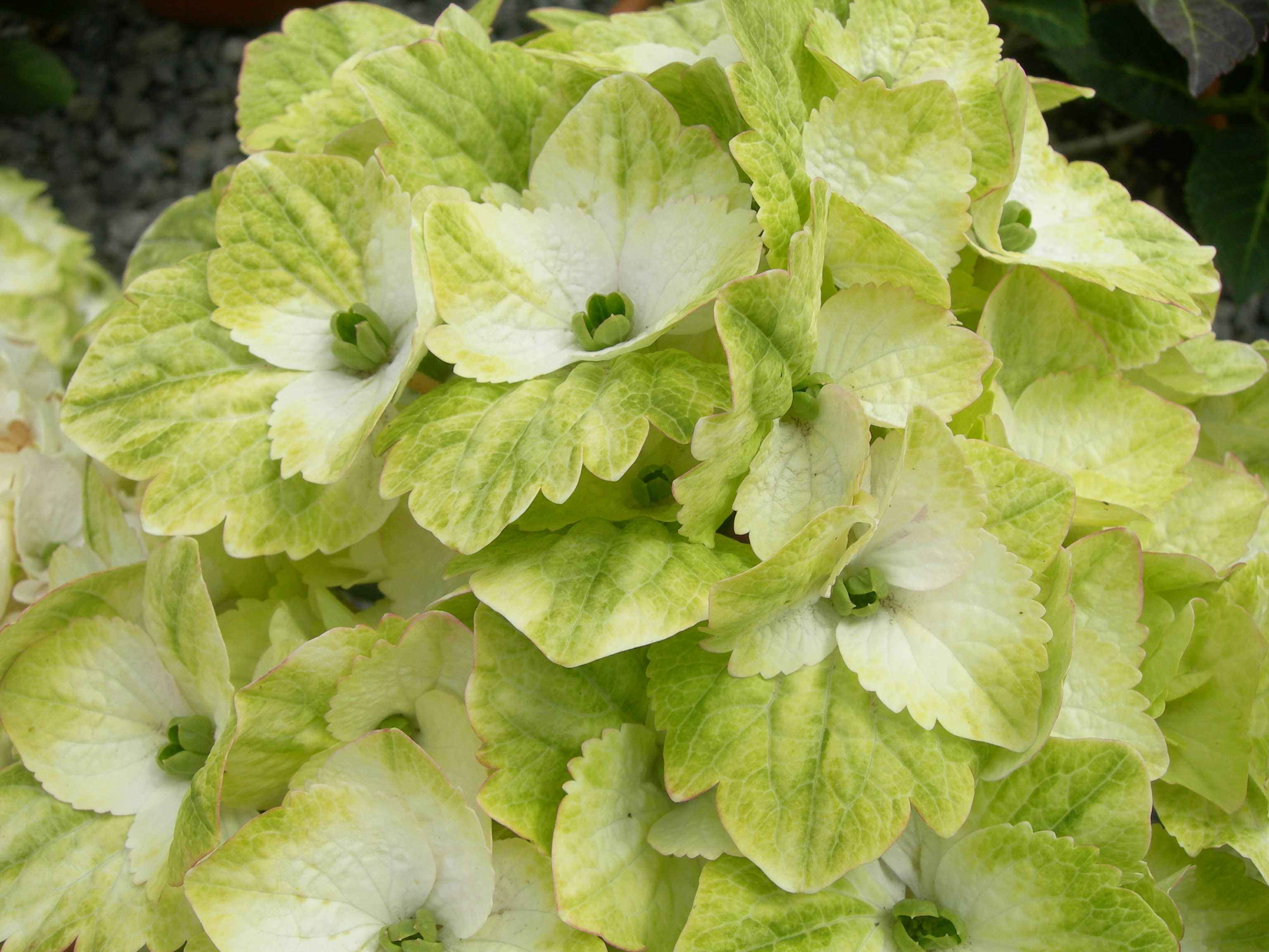 Hydrangea macrophylla  'Magical Noblesse'