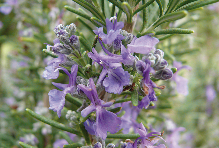 Rosmarinus officinalis 'Santa Barbara Blue'