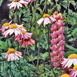 Tanacetum coccineum 'Eileen May Robinson' e Lupinus