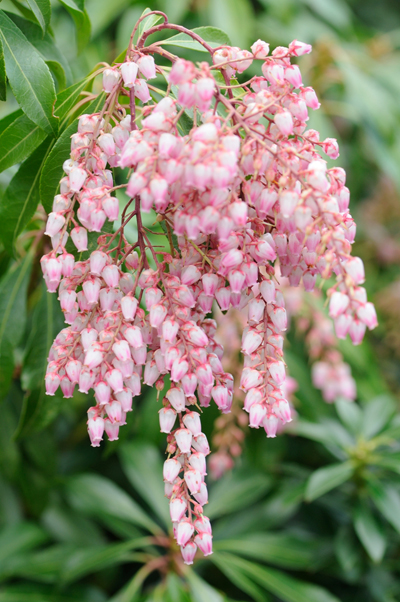 Pieris 'Garden Glory'