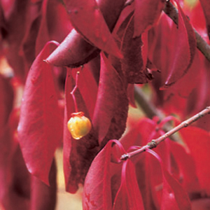 Euonimus grandiflorus 'Red Wine'