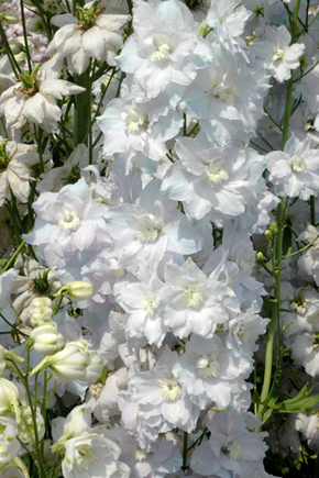 Delphinium  'Ann Woodfield'