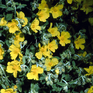 Helianthemum croceum