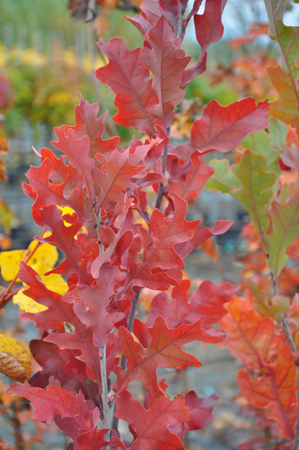 Quercus x bimundorum 'Crimson Spire' in autunno