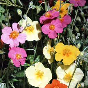 Mix di Helianthemum