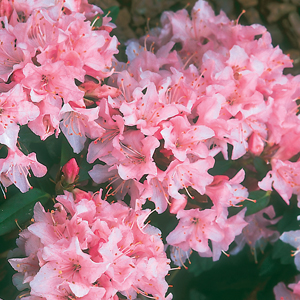 Rhododendron 'Turaçao'