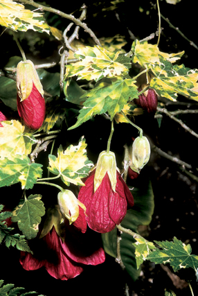 Abutilon x 'Cannington Carol'.