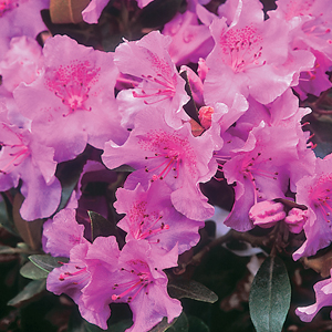 Rhododendron 'Wigeon'