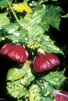 Abutilon x 'Cannington Peter'