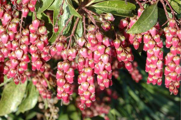Pieris japonica 'Flamingo'