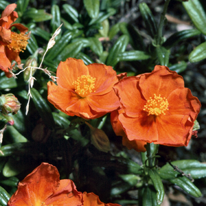 Helianthemum 'Ben More'