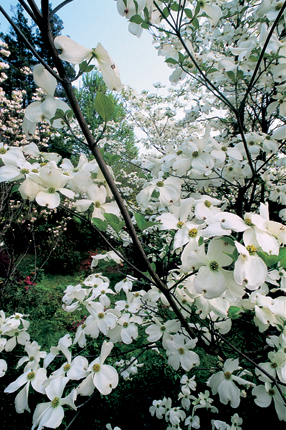 Cornus florida 'Cloud Nine'