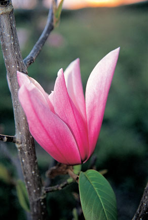 Magnolia x 'Star Wars'