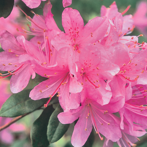 Rhododendron 'Pintail'