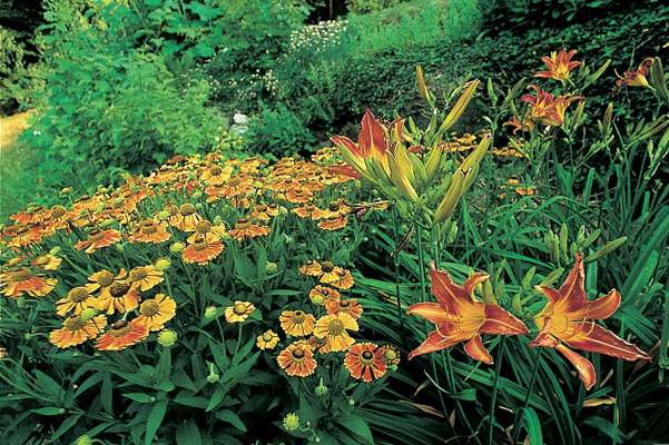 Helenium 'The Bishop' e Hemerocallis