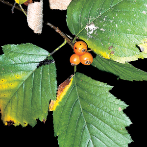 Sorbus pallescens