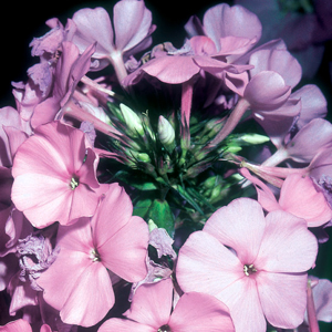 Phlox paniculata 'Cool of the Evening'