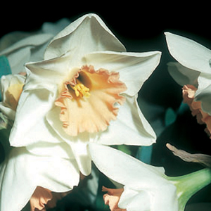 Narcissus 'Peaches and Cream'