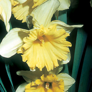 Narcissus 'Louis Armstrong'