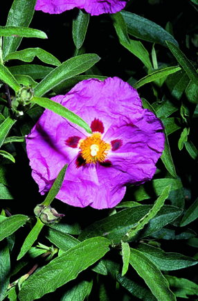 Cistus x purpureus 'Betty Taudevim'