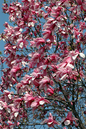 Magnolia 'Star Wars'