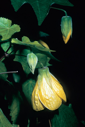 Abutilon x 'Golden Fleece'.