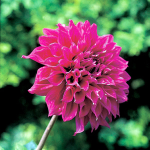 Dahlia 'Evelyn Rumbolt'