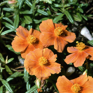 Helianthemum 'Orange Surprise'
