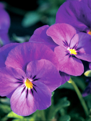 Viola cornuta 'Light Blue'