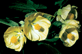 Abutilon x 'Canary Bird'.