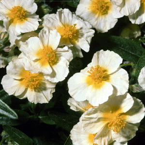 Helianthemum 'Cornish Cream'