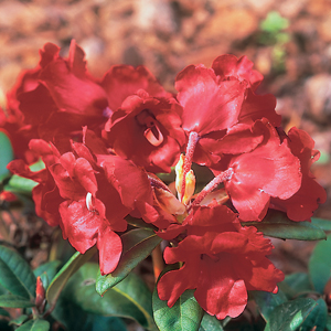 Rhododendron 'Glendoick Ruby'