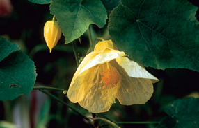Abutilon x 'Bella'