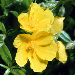 Helianthemum 'Lemon Queen'
