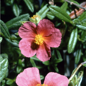 Helianthemum 'Broughty Sunrise'