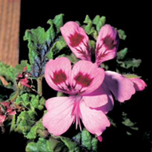 Pelargonium 'Royal Oak'