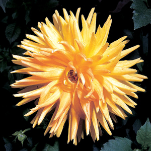 Dahlia 'Hamary Sunset'