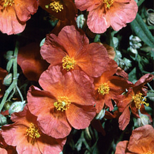 Helianthemum 'Mrs. Clay'