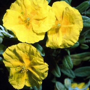 Helianthemum 'St. John's College Yellow'