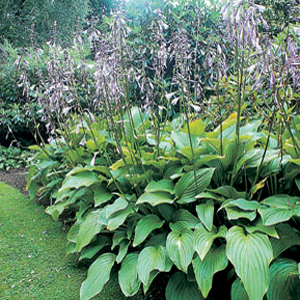 Hosta decorata