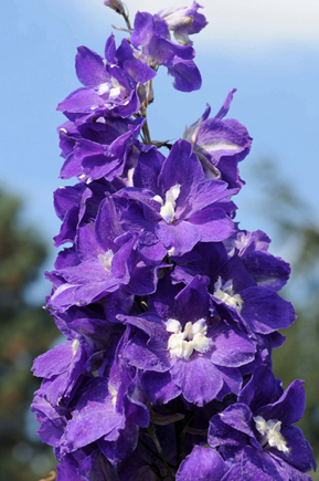Delphinium  'Royal Purple'