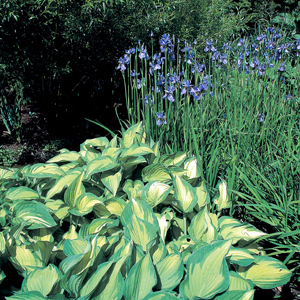 Hosta fortunei var. albopicta con Iris 'Perry's Blue'