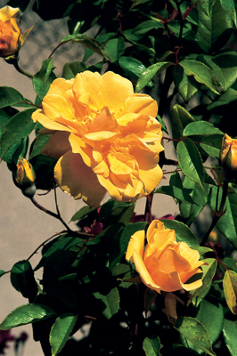 Rosa 'William Allen Richardson'