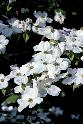 Cornus florida 'First Lady'