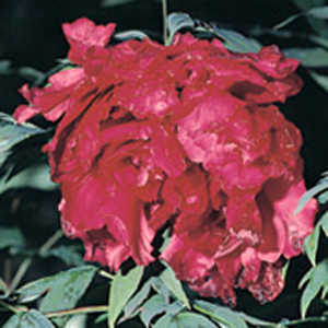 Paeonia 'Red Star of The East'