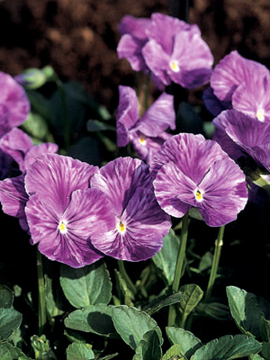 Viola 'Winifred Wargent'