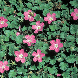 Erodium x variabile 'Roseum'